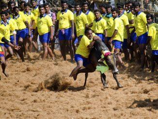 A bull being tamed at a Jallikattu event held in Palamedu. Photo: Mahendrabalan via Wikimedia