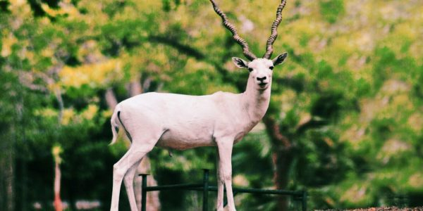 The albino blackbuck, the only one of its kind on campus, stands tall and proud
